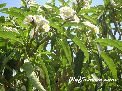 apocynaceae-aztechi-caraibi-frangipane-plumelia-pomelia-01.JPG