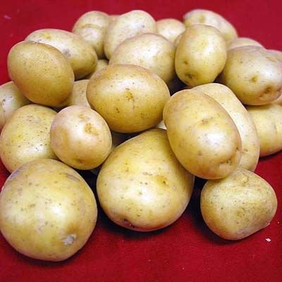 amflora patata ogm